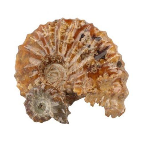 ammoniet-tractorwiel-fossiel