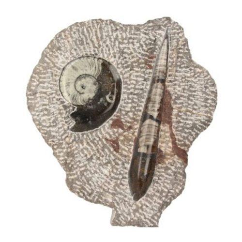 orthoceras-met-goniatiet-beeld-nr3-fossiel