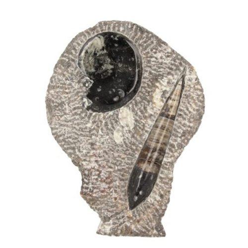 orthoceras-met-goniatiet-beeld-nr5-fossiel