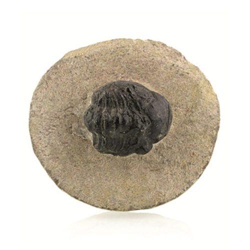 trilobiet-zwart-ca-2-cm-fossiel
